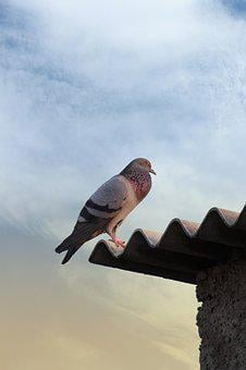 Bird, Nature, Pigeon, Free Image