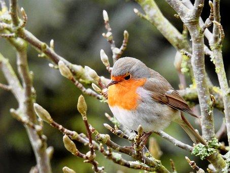 Robin, Vogel, Op Tak, Songbird
