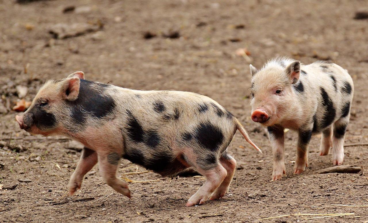 Картинки свинья поросенок