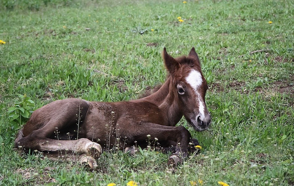 Animal, Equine, Foal, Domestic Animal, Horse, Brown