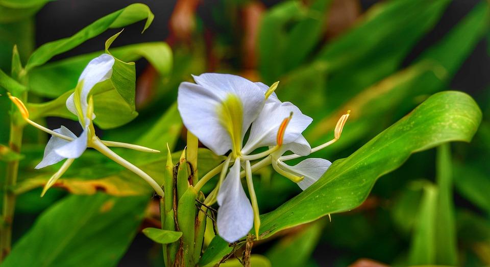 Mariposa White Ginger Flower Free Photo On Pixabay