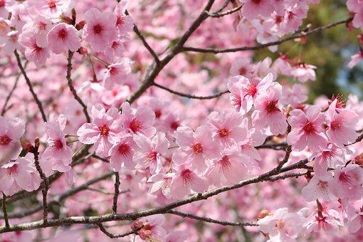 Sakura Images Pixabay Download Free Pictures