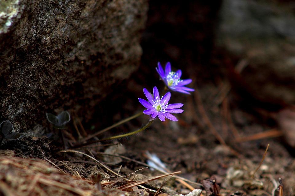 Natur, Växter, Wildflower, Min Röv, Blommor, Våren