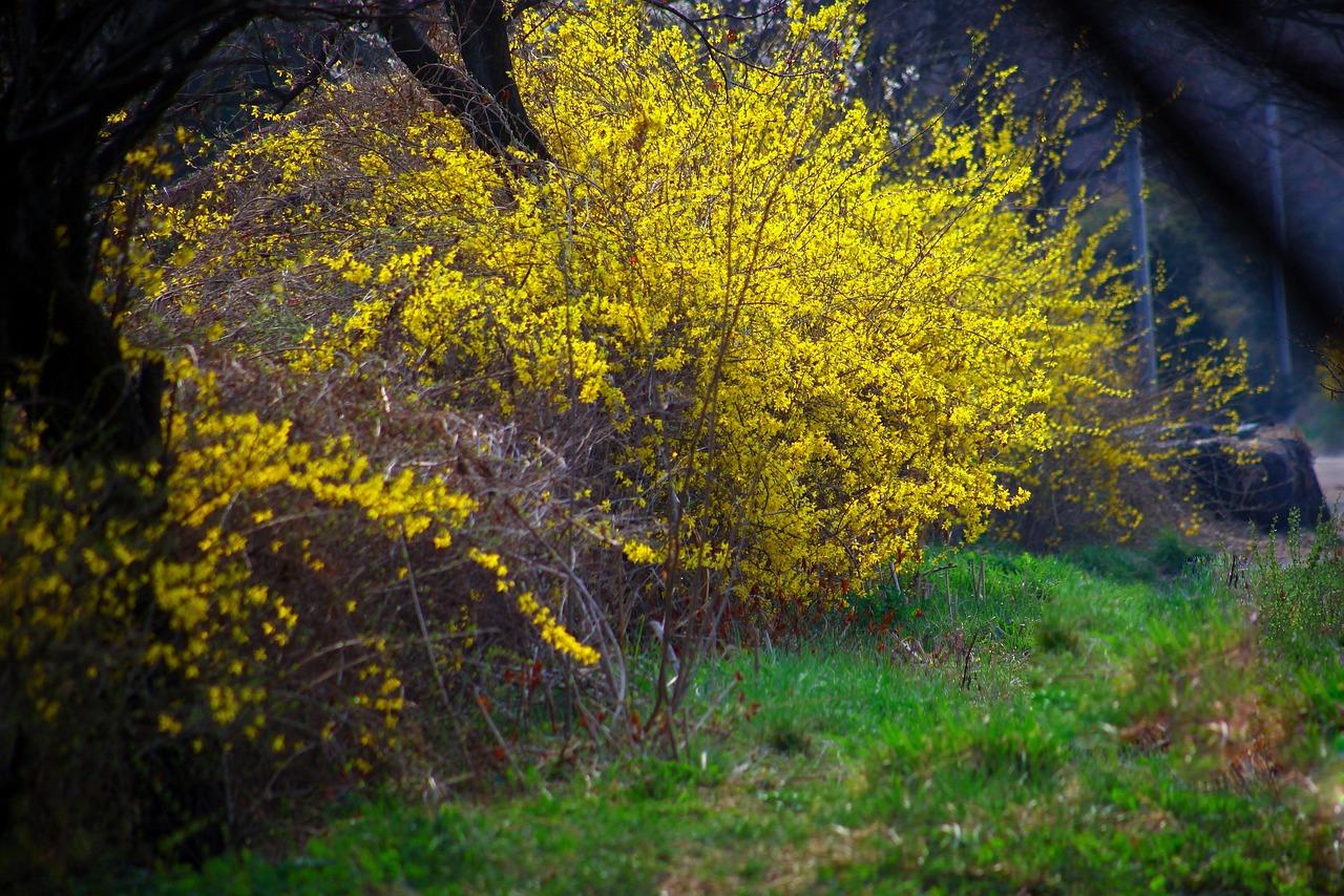 фото кустарника с желтыми цветами весной результате
