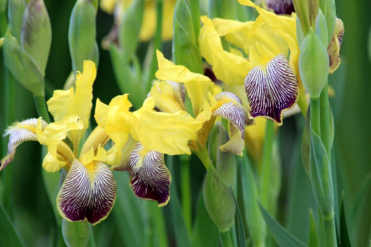фотографии цветка ириса каримова