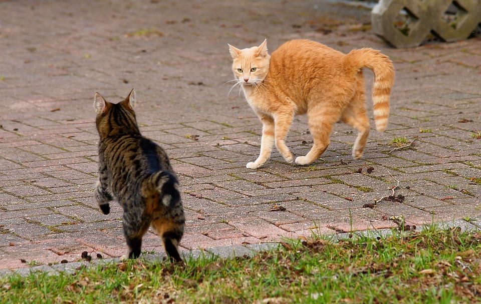 Animale, Mammifero, Carino, Natura, Cat, Pet, Confronto