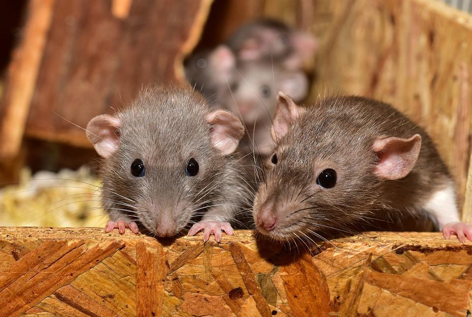 Cute, Knaagdier, Muis, Kleine, Dierlijke, Zoogdier, Rat