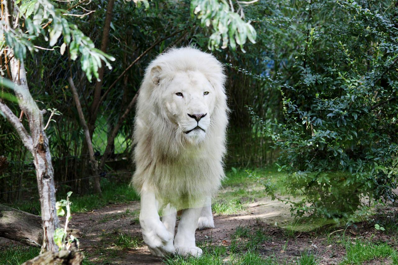 картинки про белых львов