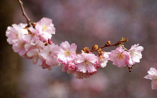 Japanese cherry blossom images pixabay download free pictures cherry blossom flower plant nature mightylinksfo