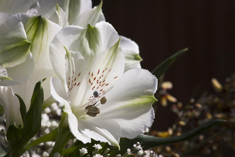 Lilja, Vit, Blomma, Växt, Natur, Blommor, Garden