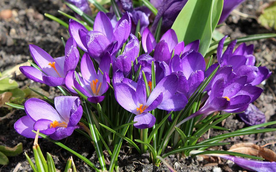 Image result for wiosna fioletoe krokusu