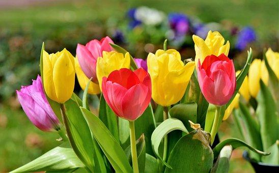 Tulpe, Tulpenstrauß, Blüte