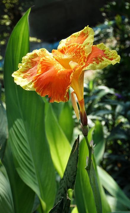 Canna Lily Orange Photo Gratuite Sur Pixabay