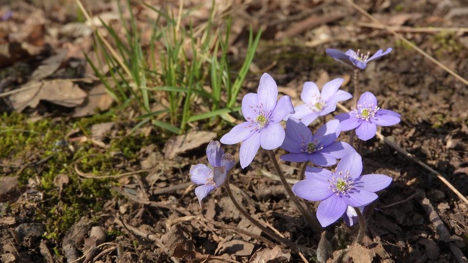 Hepatica Nobilis, Podléška, Spring Flowers