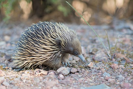 Echidna, Spiny Anteater, Tachyglossidae