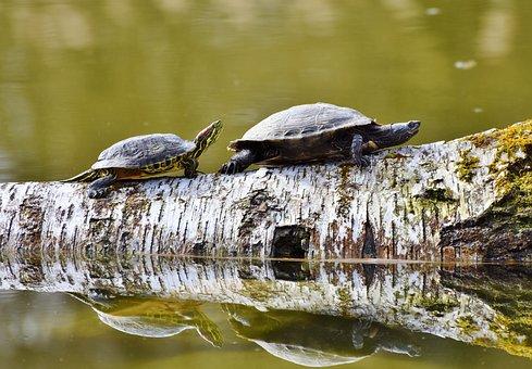 Tortugas, Reptil, Concha De Tortuga