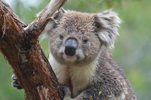 Koala, Australia, Marsupial, Tree