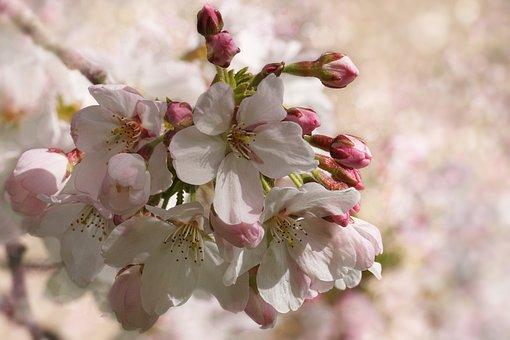 Kersenbloesem, Bloem, Plantaardige
