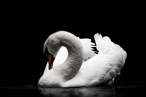 Bird, Swan, Nature, Waters, Animal World