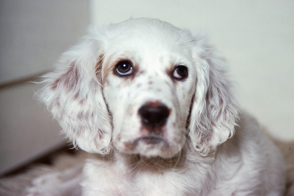 Cane, Pet, Mammiferi, Carino, Setter Inglesi
