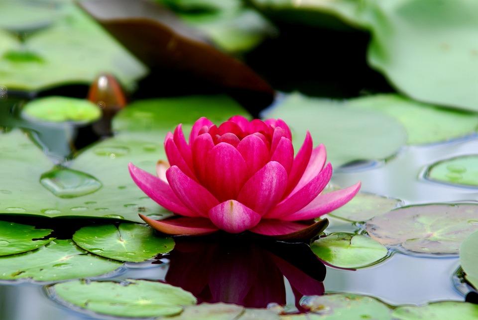 Tanaman Hias yang Bisa Ditanam Melalui Media Air, Bunga, Teratai, Lili Air, Tanaman, Daun, Bunga Liar