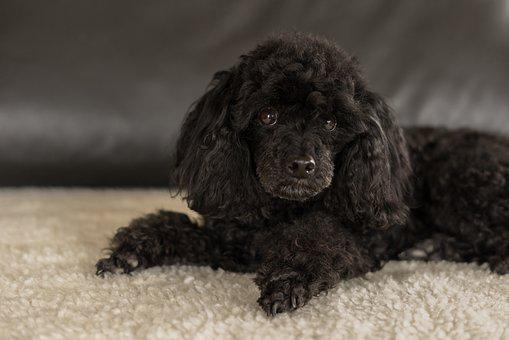 Dwarf Poodle Black, Dog, Bitch, Cute