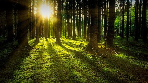 木, モス, 森林, 日光, 太陽光線, 森, 森林地帯, 空き地, 下草