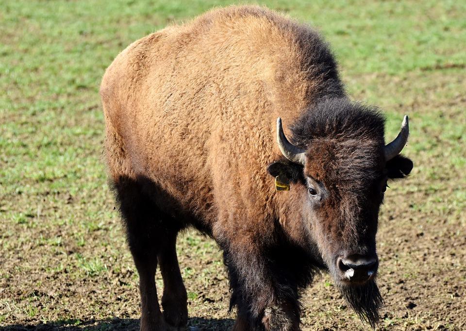 BisonBuffalo. There is a buffalo farm in Brooklyn, CT