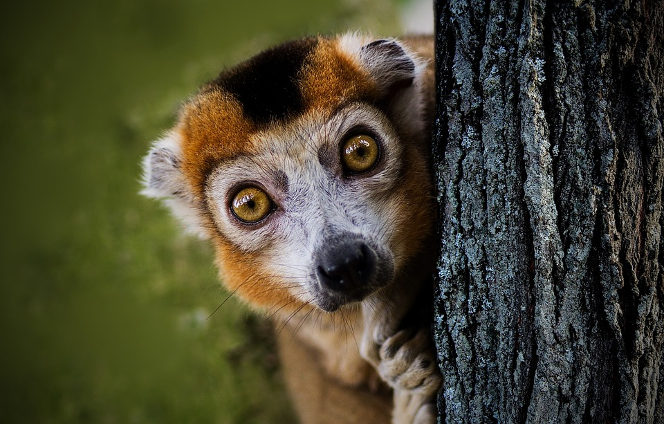 Maki, Neugierig, Halfaap, Kuckuck, Lemur, Lemuren