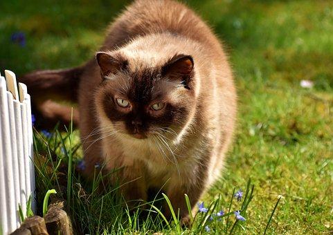 Shorthair Britânico, Gato, Bonito
