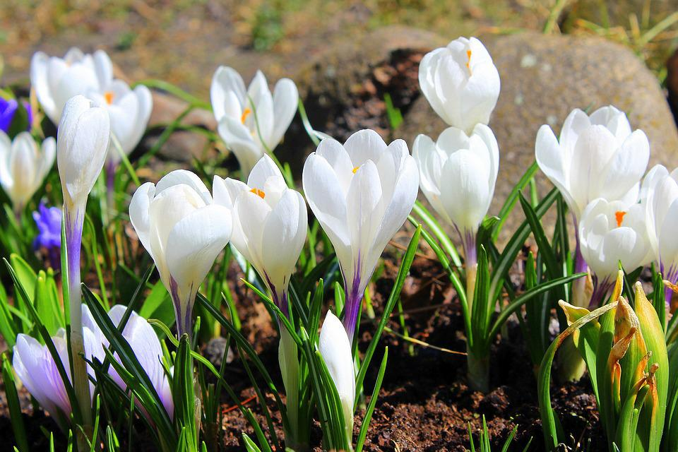 Crocus white spring flowers free photo on pixabay crocus white spring flowers spring flower nature mightylinksfo