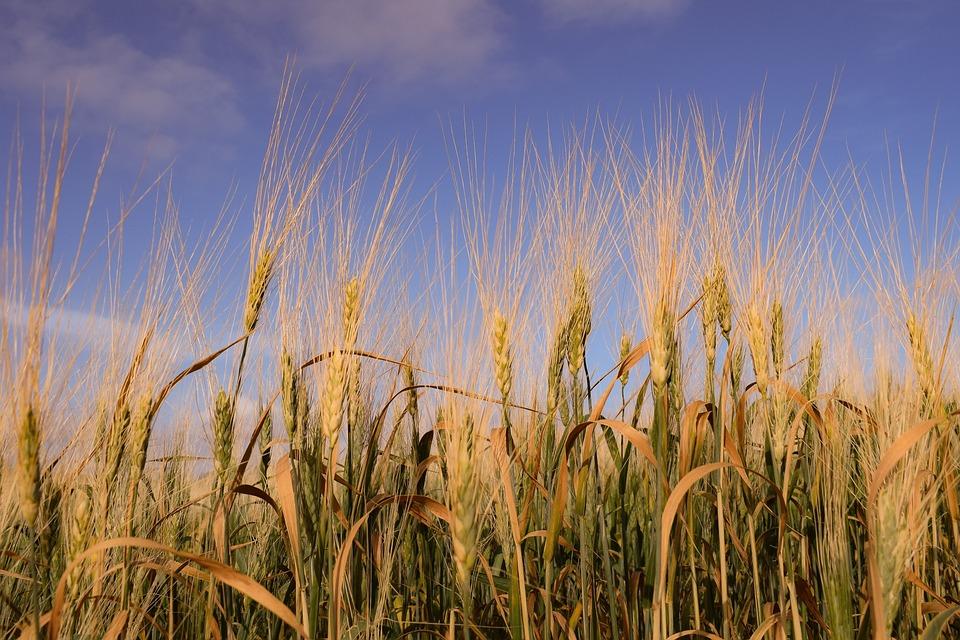 谷类, 小麦, 原野, 作物, 农村, 大麦, 自然, 金, 农业, 风景