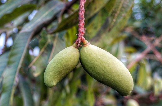 Growing, Mango, Green, Hanging
