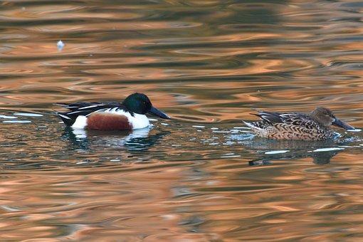 鴨, 野生動物, 鳥, 自然, 池, ハシビロガモ
