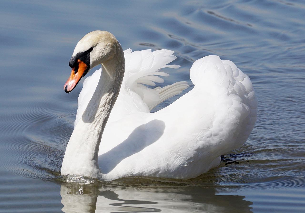 лебедь голова картинка