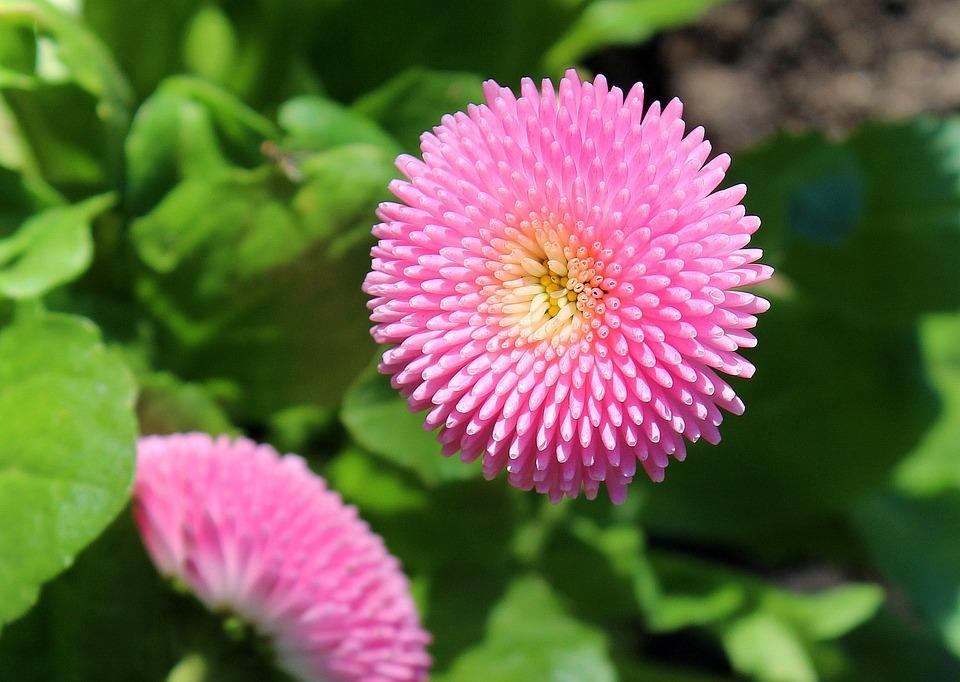 Margarita Primavera Color De Rosa · Foto gratis en Pixabay