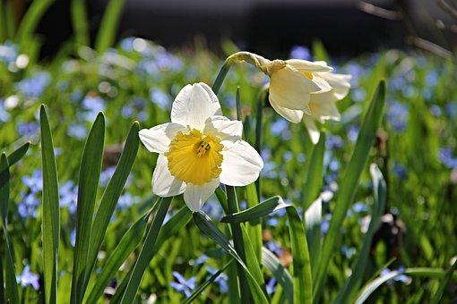 Narcisse, Pseudonarcissus Narcisse