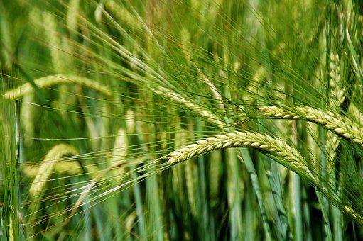 Глобальное потепление сделает пшеницу более урожайной, но менее вкусной