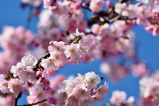 Flores De Cerezo Japonés Imágenes Pixabay Descarga Imágenes Gratis
