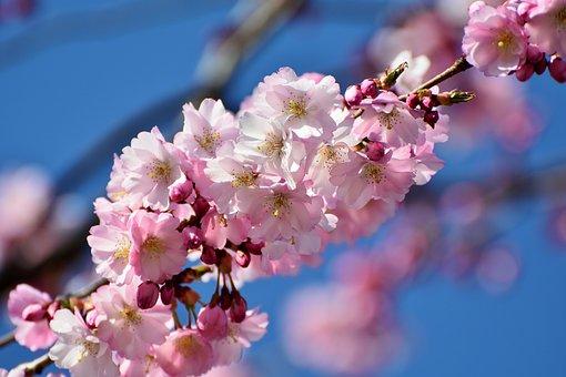 桜の花, 桜観賞, 日本の桜の木, 花, ピンク, 桜の日本, 日本の花桜