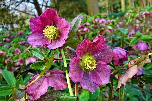 Hellebore, Flower, Plant, Petal, Pistil