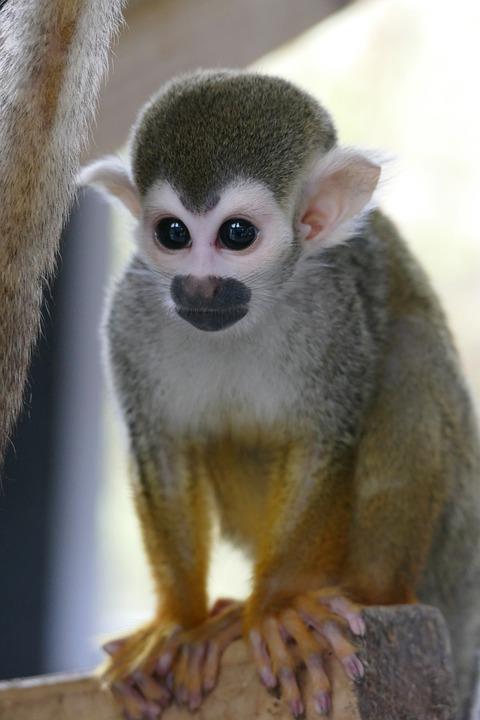 蜘蛛猴, 猴子, 灵长类动物, 脸, 野生动物, 自然, 动物, 哺乳动物
