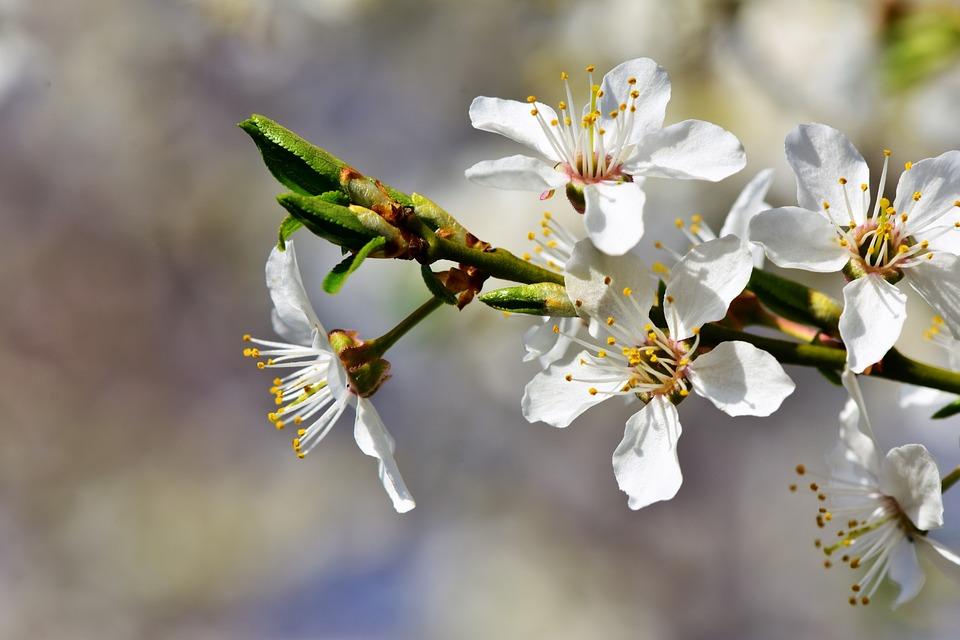 Fleur De Prunier Photo Gratuite Sur Pixabay