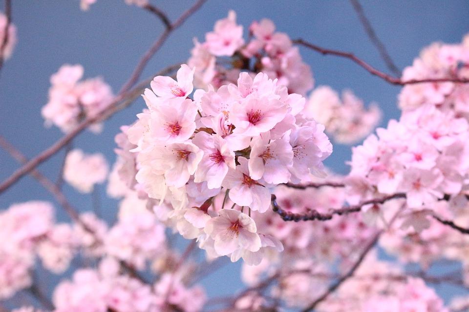 Japanese Cherry Blossom Tree Kostenloses Foto Auf Pixabay
