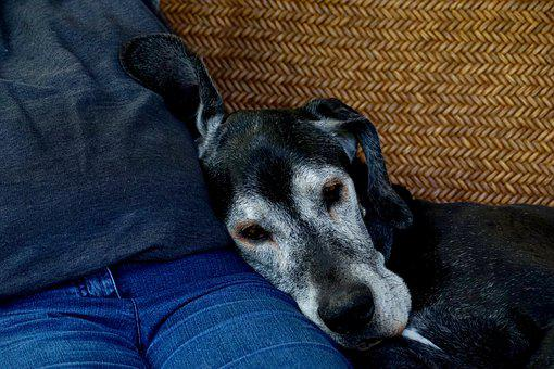 Old Dog, Pet, Mammal, Animal, Great Dane, joint care