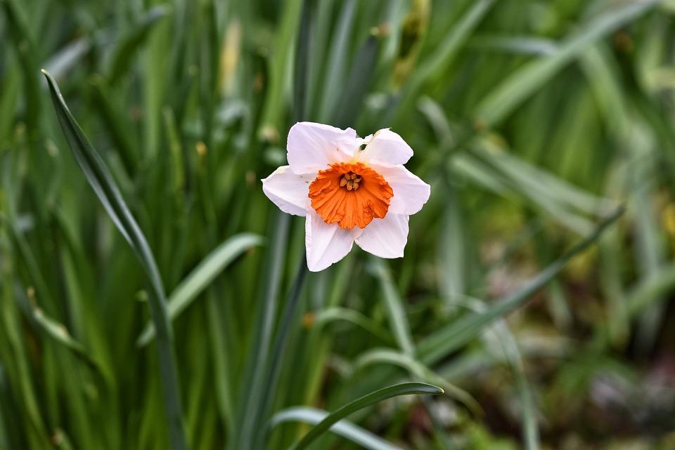 jonquille fleur plantes narcisse - Fleur Jonquille