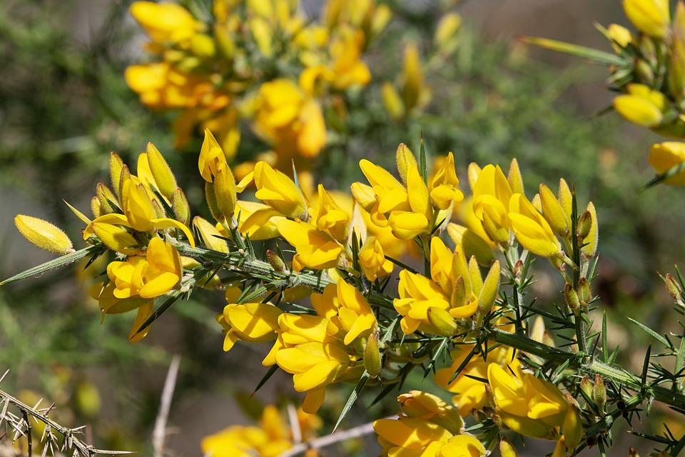 Gorse, Ulex Europaeus, Flowers, Bush, Blossom, Bloom