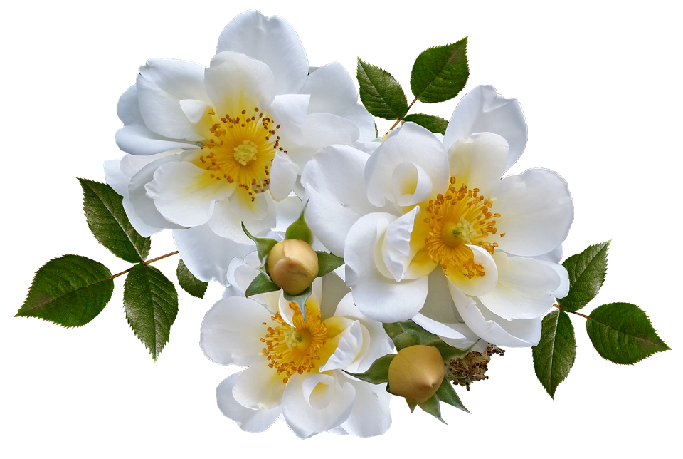 Rose, Flor, Branco, Arranjo