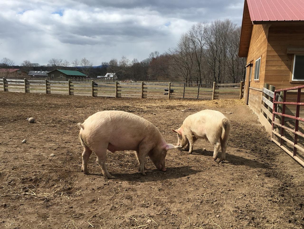 Свиньи в хлеву картинки
