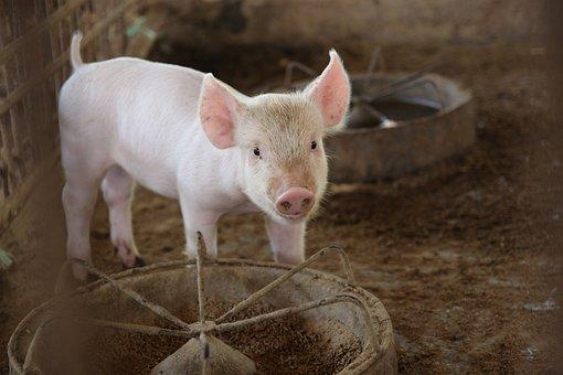 Исследование: кормовые добавки могут предупреждать заболевания у свиней